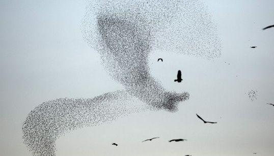 まるでスイミー。ムクドリの群れが「巨大な鳥」に