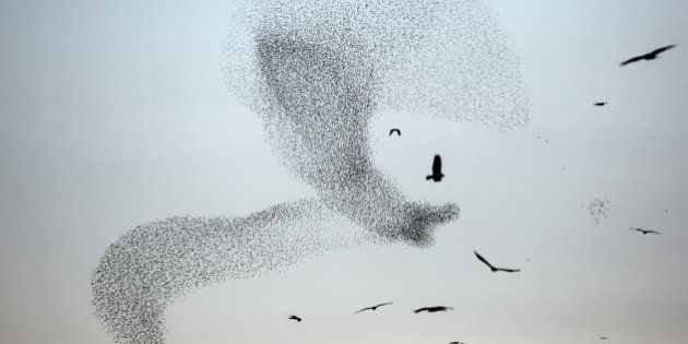 A picture taken on January 4, 2015 shows a murmuration of starlings performing their traditional dance...
