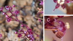「光合成をやめた植物」新種が石垣島で見つかる。オモトソウと命名
