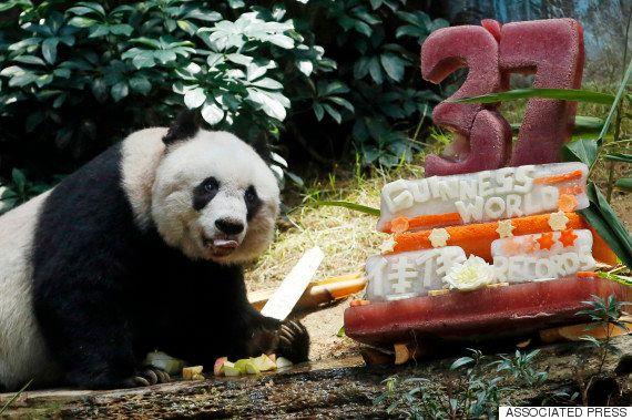 世界最高齢のジャイアントパンダ死ぬ。人間なら114歳「私たちの家族だった」