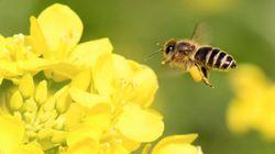 ネオニコチノイド系農薬とハチ減少に新たな証拠