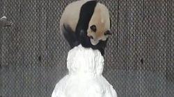 パンダ、雪だるまと格闘する【動画】