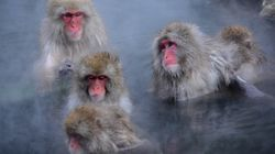 人と同じように、ニホンザルも温泉でストレスを解消している 京大グループが発表