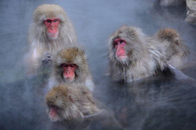 長野県の地獄谷野猿公苑で温泉に入るニホンザル(ラファエラ・サユリ・タケシタ研究員提供)
