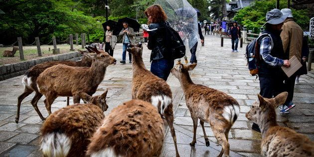 人に群がるシカたち=奈良市の奈良公園