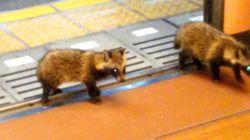 叡山電鉄に子ダヌキ2匹乗車⇒車内きょろきょろ見渡し去る まるで下鴨兄弟?