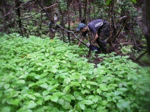 小笠原諸島で侵略的外来植物のアカギに立ち向かう