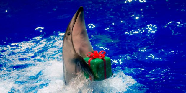 A dolphin moves to return a parcel to its trainer during a special Christmas show at the Shinagawa Aqua...