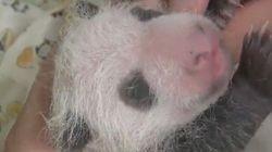 赤ちゃんパンダの名前、28日から募集開始だよ 「リンリン」「カケカケ」...候補続々