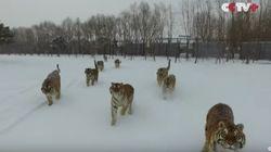 中国のトラ、ドローンを捕まえてバキバキに...【話題の動画】