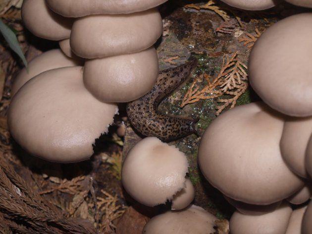 マダラコウラナメクジによって食害を受けたヒラタケ