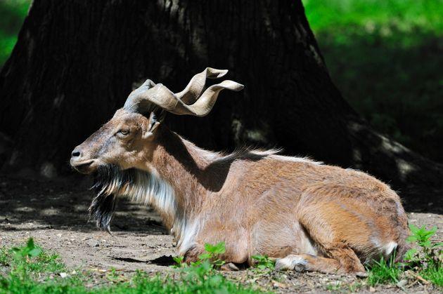 미국인 사냥꾼이 멸종위기 종인 마코르 염소를 합법적으로