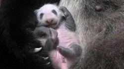赤ちゃんパンダの写真、どうみても「あのポーズ」で超かわいい