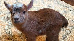 動物園で生まれた「チューバッカ」が可愛いすぎる