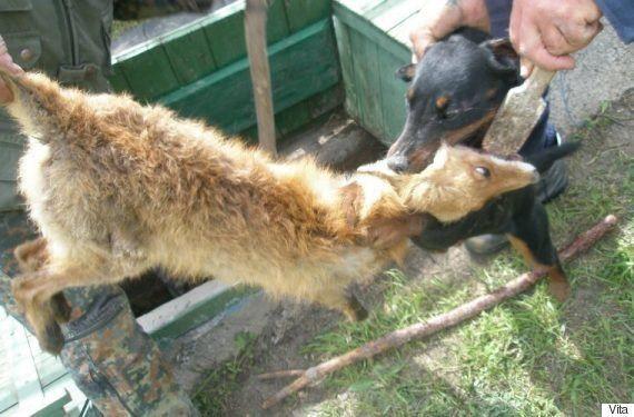 野生動物を鎖でつなぎ、猟犬にかませる訓練サービスがロシアで横行