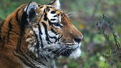 シベリアトラの個体数が523~540頭に増加