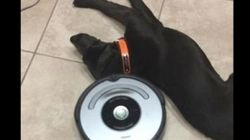 ルンバが来てもなすがままの犬 疲れてたんだね(動画)