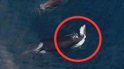 謎に包まれた生態のシャチ、サメを襲う ドローンの貴重な映像