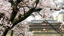 京都・五条大橋。雨に濡れる鴨川の桜が見ごろ(画像集)