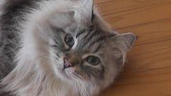 プーチン氏が秋田県知事に贈ったシベリア猫、とっても元気だニャン!(画像)