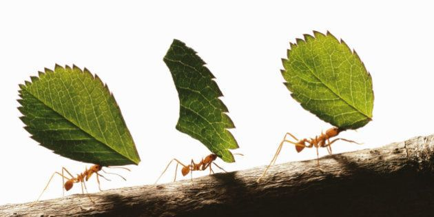 Three leafcutter ants (atta cephalotes) carrying leaves,