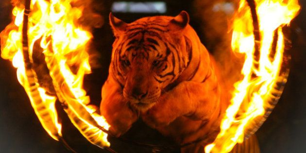 Tiger jumping through a burning