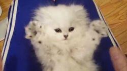 真っ白でふわふわの子猫が、バンザイする動画がかわいすぎる