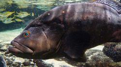 「歯磨きお願いね!」飼育員におねだりする巨大魚 名古屋港水族館で密かな人気(動画)