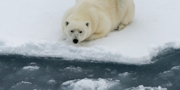 Polar bear lying on ice floe of the pack. Close view.