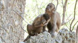 サルの「石器」が投げかける疑問