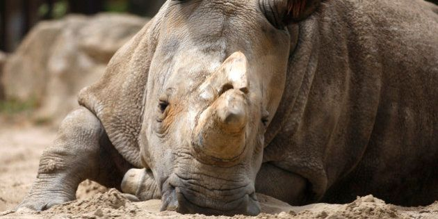 Nabire, the 27-year-old northern white rhino sits in her enclosure at the zoo in Dvur Kralove, Czech...