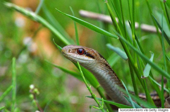 新幹線の車内でニシキヘビ?→シマヘビのようです