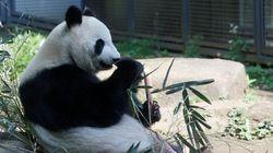 シンシン出産、赤ちゃんパンダの名前候補が次々に浮上 テンテン、リンリン、エビエビ...?