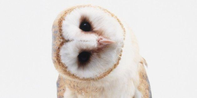 Young Barn Owl (Tyto alba) with head
