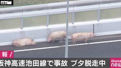 阪神高速でブタ19頭が脱走 通行止めの道路をウロウロ【UPDATE】