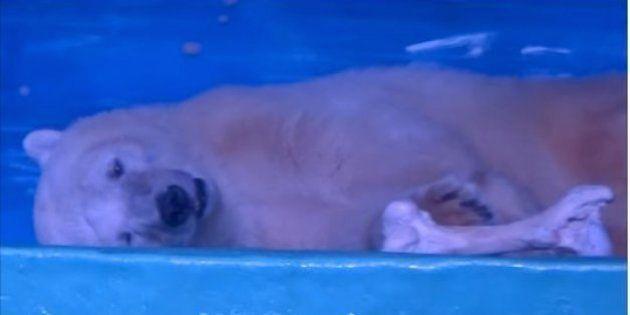 「世界で最も悲惨な動物園」のシロクマ、イギリスの野生動物公園が引き取りに名乗り