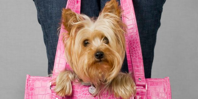 Silky terrier in dog carrier. Please see my portfolio for other dog and animal related
