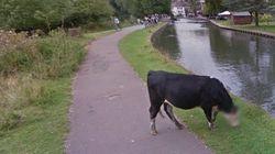 Google、ストリートビューで牛の顔にもボカシを入れるもん(画像)