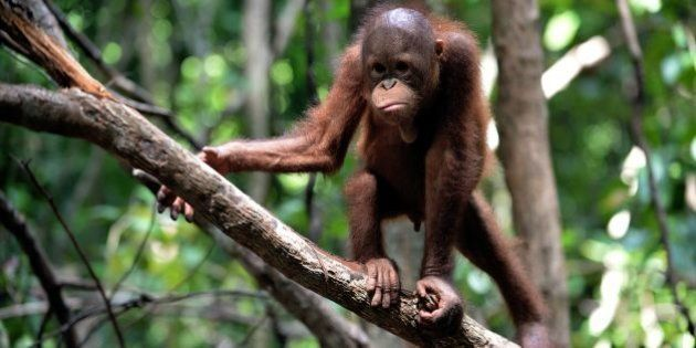 This picture taken on August 4, 2016 shows an orphan orangutan baby playing in a tree whilst attending...