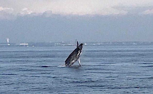東京湾で出没しているクジラ