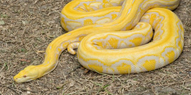 Gold Python,Reticulated python (Python