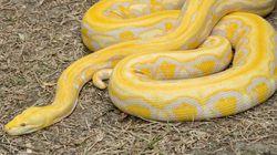 人間を食う巨大ヘビを無許可で飼育、21歳男を逮捕「顔がかわいかった」