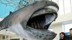 メガマウスの1.2トンの巨体、死後に海底から引き揚げ