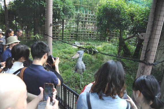 「意外と動く」ハシビロコウの人気上昇中、上野動物園のグッズ販売はパンダに次ぐ