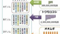 コムギゲノム概要解読、遺伝子12万個
