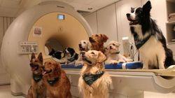 犬は人の言葉だけでなく、裏にある感情までを理解している――13匹の脳をMRIスキャンし判明