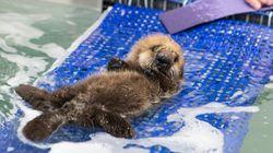 赤ちゃんラッコ、水族館で一生懸命泳ぎを覚える【画像】