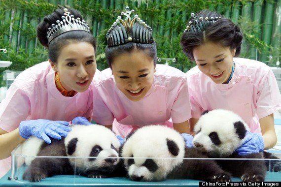 世界で唯一の「パンダの3つ子」すくすく成長【動画・画像】