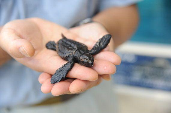 2728匹のお母さんに、名古屋港水族館のアカウミガメは繁殖日本一