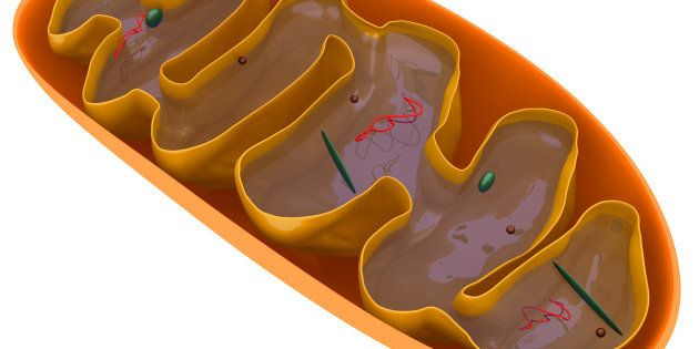 Digital medical illustration: Microscopic cross section of a mitochondrion